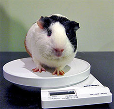08-guinea-pig-on-scale.jpg