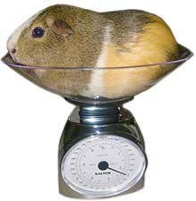 30-fat-guinea-being-weighed.jpg